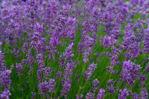 lavendervibrant